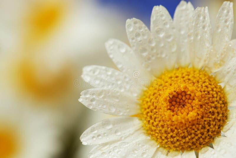 Gänseblümchenblumenhintergrund lizenzfreies stockfoto