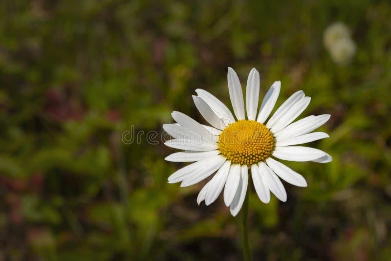 Gänseblümchenkamillenblume, Nahaufnahmetapetenhintergrund Gelbe Mitte der Blumenblätter des weißen Gänseblümchens der Blume Natur stockfoto
