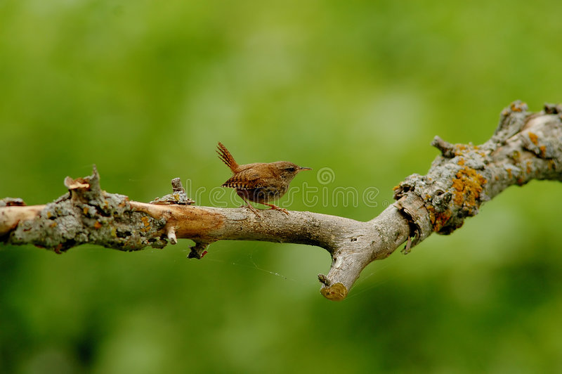 Download Gärdsmyg arkivfoto. Bild av grottmänniskor, trä, ornithology - 522848