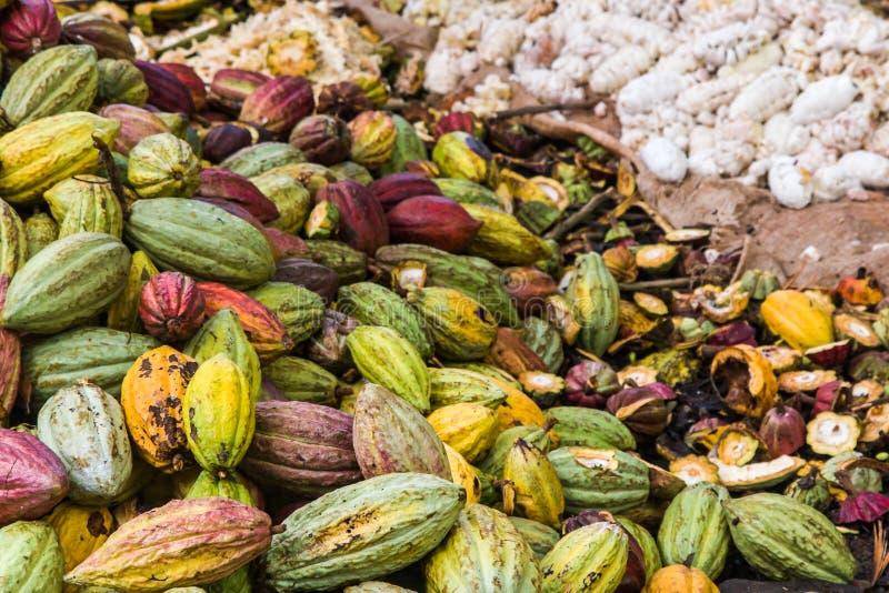 Gärende Kakaohülsen   stockbilder