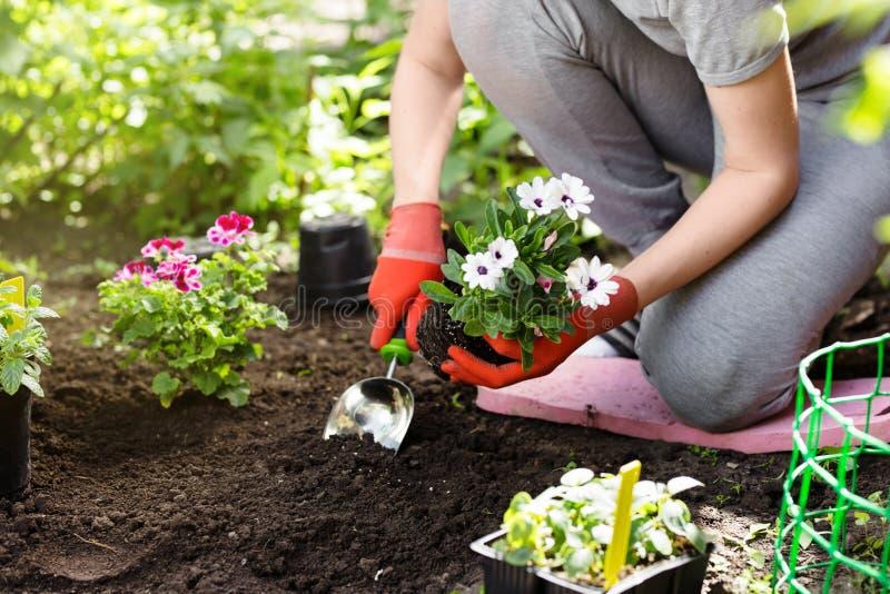 Gärtner, der Blumen im Garten, Abschluss herauf Foto pflanzt lizenzfreie stockfotos