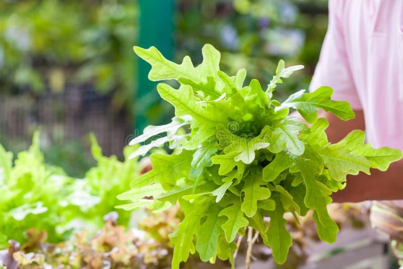 Gärtner, der den frischen grünen Kopfsalatsalat organisch am vegetab erntet lizenzfreie stockfotos