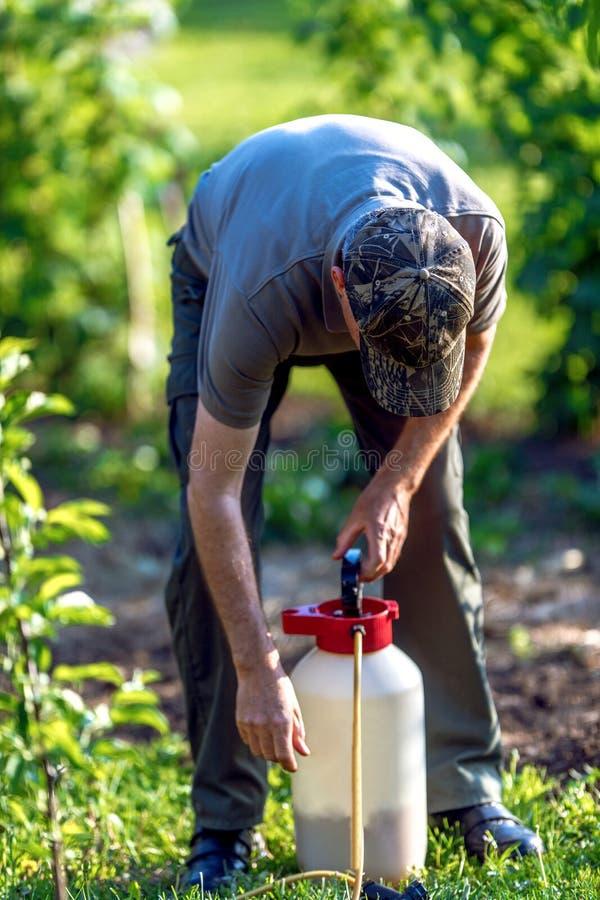 Gärtner, der ein Insektenvertilgungsmitteldüngemittel an seinen Fruchtsträuchen aufträgt stockbild