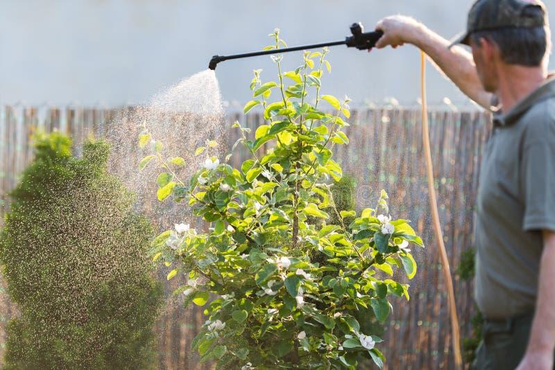 Gärtner, der ein Insektenvertilgungsmitteldüngemittel an seinen Fruchtsträuchen aufträgt lizenzfreies stockbild