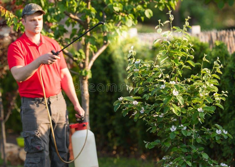 Gärtner, der ein Insektenvertilgungsmitteldüngemittel an seinen Fruchtsträuchen aufträgt lizenzfreie stockfotografie