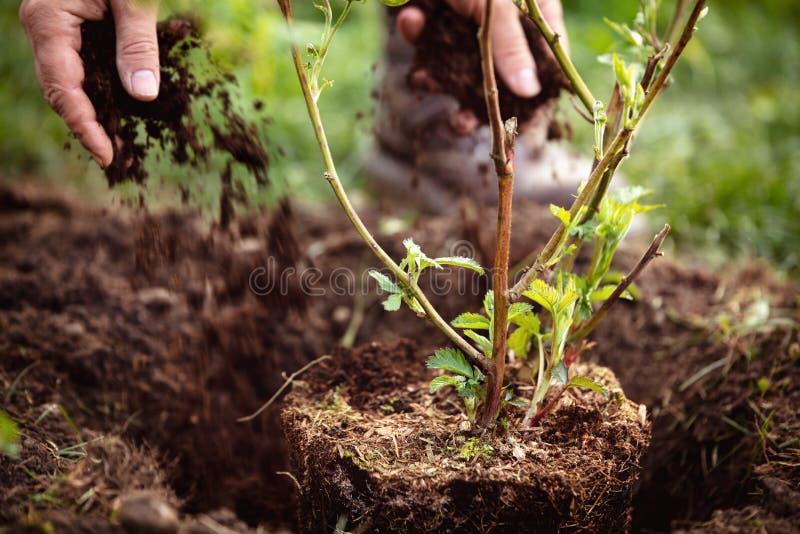 Gärtner, der eine pflanzende Brombeere, eine Gartenarbeit und eine Gartensorgfalt von Anlagen mit Laub bedeckt lizenzfreie stockbilder