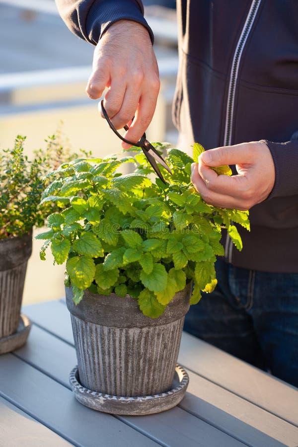 Gärtner, der Melissenmelisse im Blumentopf auf Balkon auswählt lizenzfreie stockfotografie