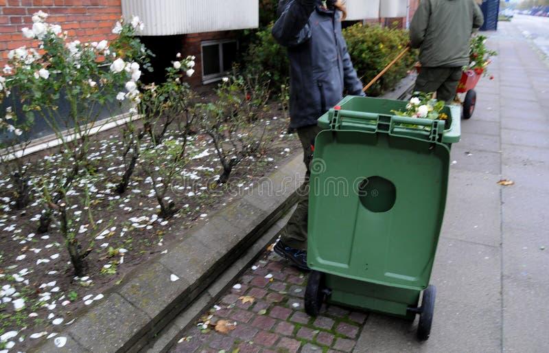 GÄRTNER, DER MIT ROSEN-ANLAGEN ARBEITET lizenzfreies stockfoto