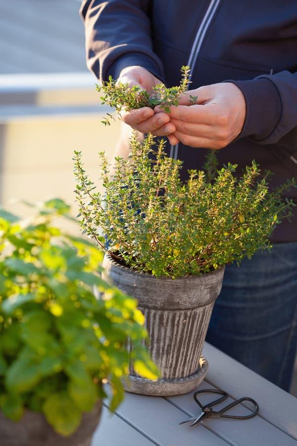 Gärtner, der Thymianblätter auf Balkon auswählt stockbild