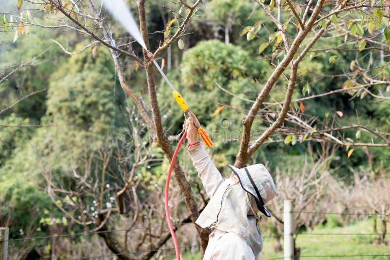 An Gärtner Doi Ang Khang Chaing Mai Unidentified, der ein Insektenvertilgungsmittel ein Düngemittel zu seiner Anlage sprüht stockfotografie