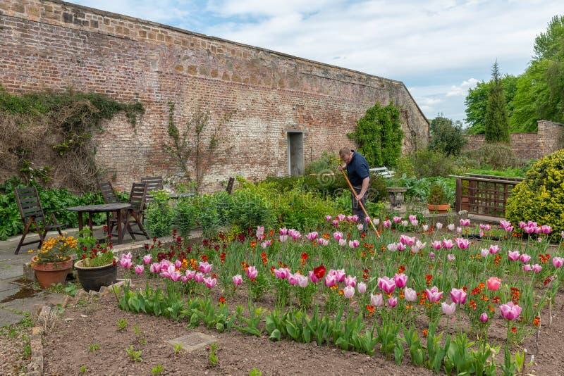 Gärtner im englischen Hof mit Möbeln und Tulpe blüht stockfoto