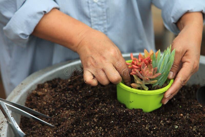 Gärtner vereinbart junge saftige Anlage für Potting in einen neuen dekorativen Behälter lizenzfreies stockfoto
