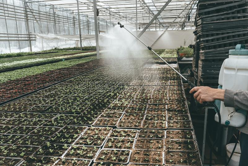 Gärtnerarbeitskraft, die Anlagen im Wasserkulturglashaus mit Berieselungsanlage, dem industriellen Seedingswachsen und Bearbeitun lizenzfreie stockfotografie