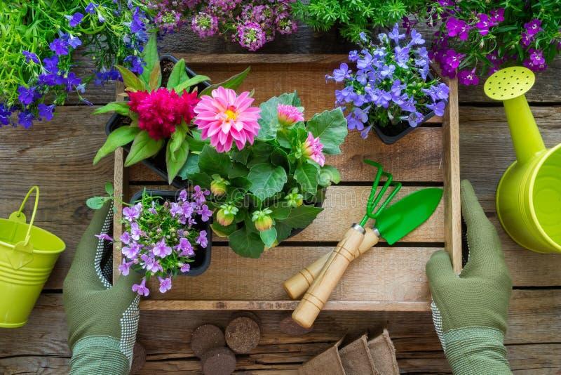 Gärtnerhände hält einen hölzernen Behälter mit einigen Blumentöpfen Gartenger?te: Gie?kanne, Schaufel, R?hrstange, Handschuhe lizenzfreies stockfoto