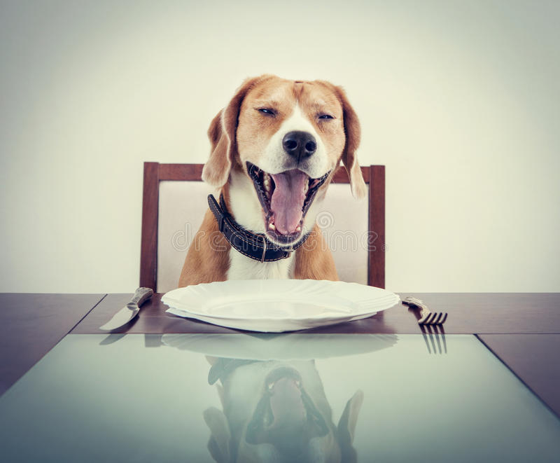 Gäspa beaglet dog trött för att vänta på uppassaren fotografering för bildbyråer