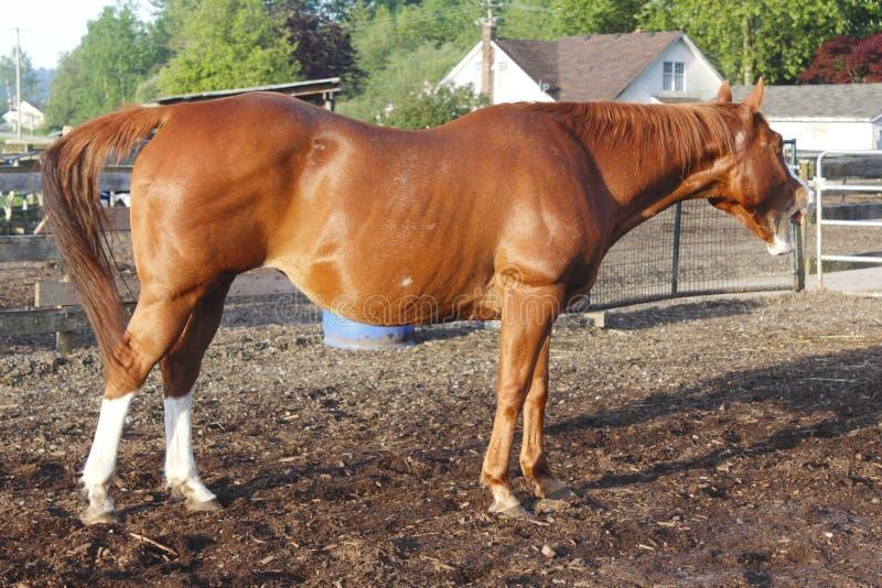 gäspa för häst royaltyfria foton
