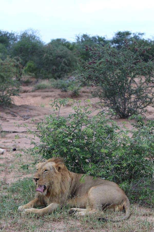 gäspa för lion royaltyfri foto