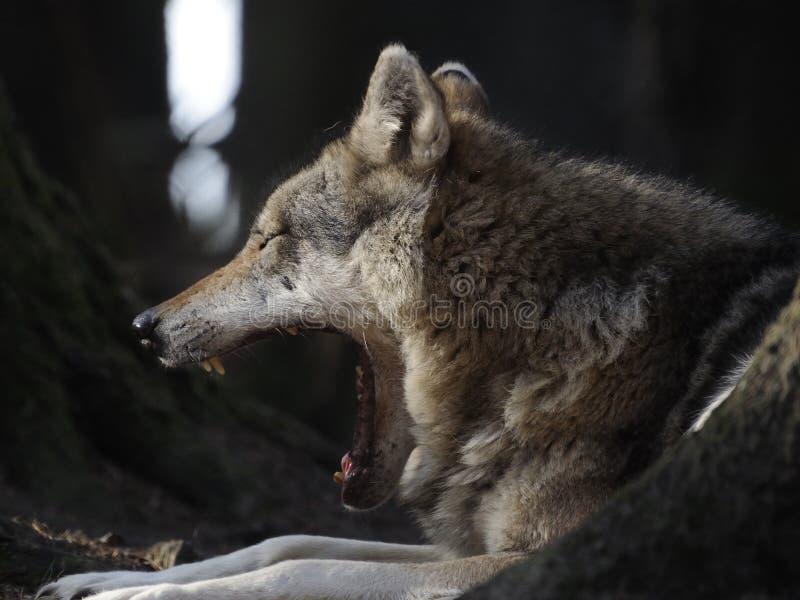 gäspa för wolf royaltyfria bilder