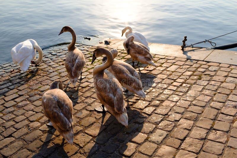 Gäss i stad vid en flod royaltyfri foto