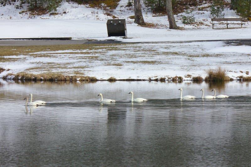 Gäss på en lugna sjö i vinter royaltyfri bild