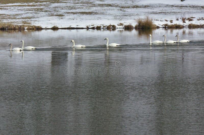 Gäss på en lugna sjö i vinter royaltyfria bilder