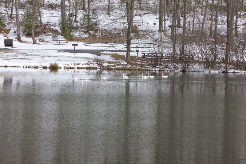 Gäss på en lugna sjö i vinter arkivfoton
