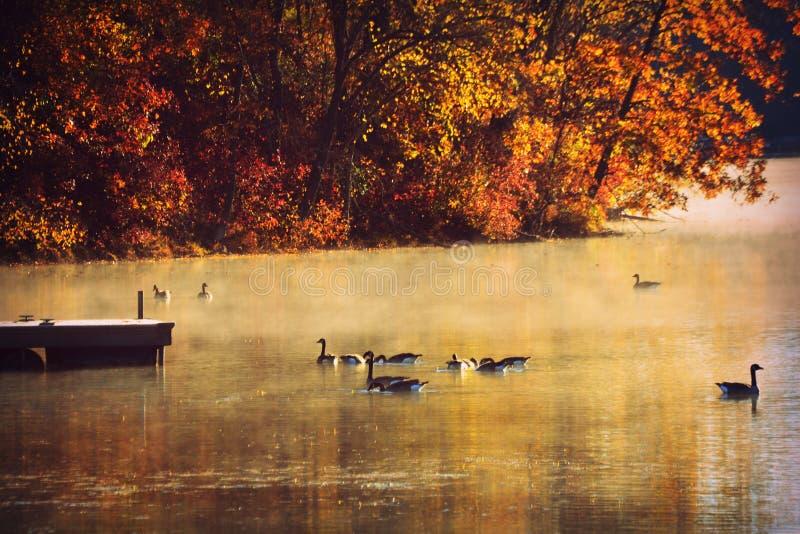 Gäss på sjön, morgonmist, nedgång fotografering för bildbyråer