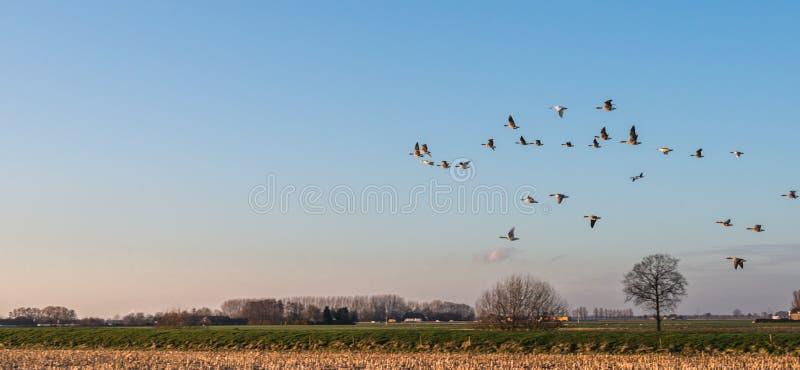 Gäss på skymning som lågt flyger över en landsbygd arkivfoton