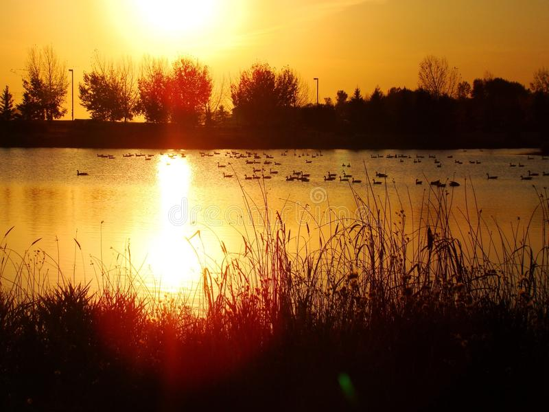 Gäss på solnedgången arkivbild
