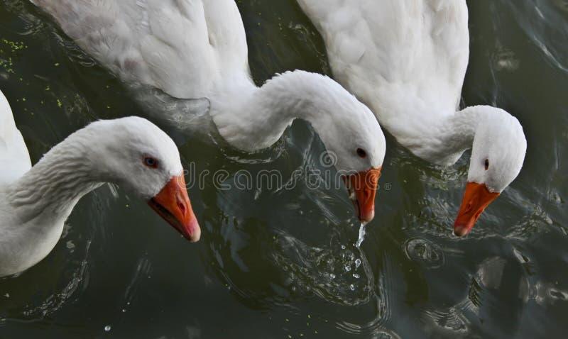 Gäss som simmar i floden arkivfoto