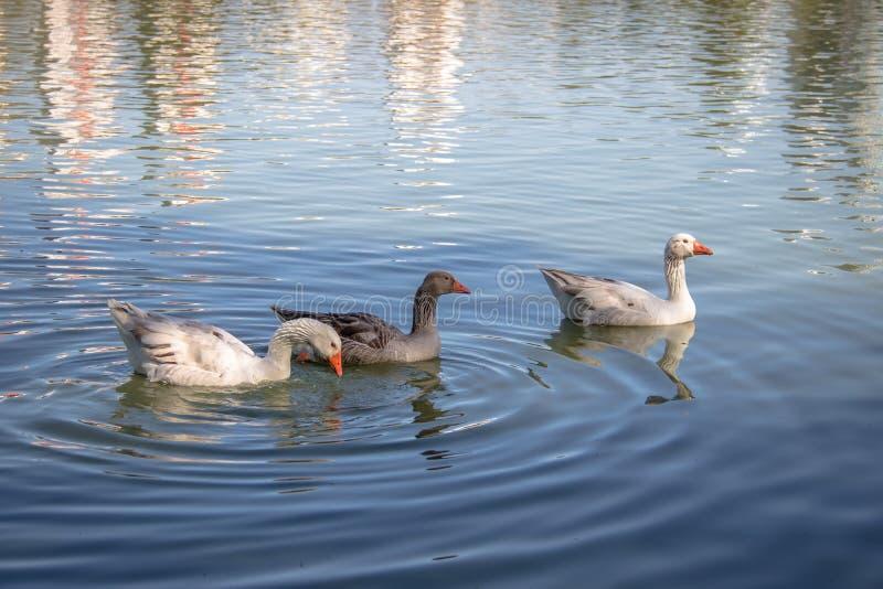 Gässen som simmar i en sjö på Barigui, parkerar - Curitiba, Parana, Brasilien arkivbilder