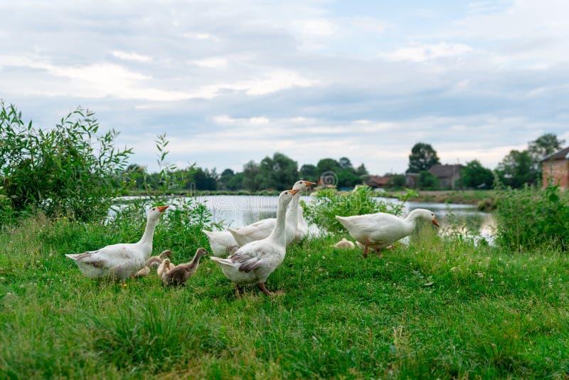 Gässreturhemmet efter går i naturen, att föda upp av djur, Ukraina royaltyfri fotografi