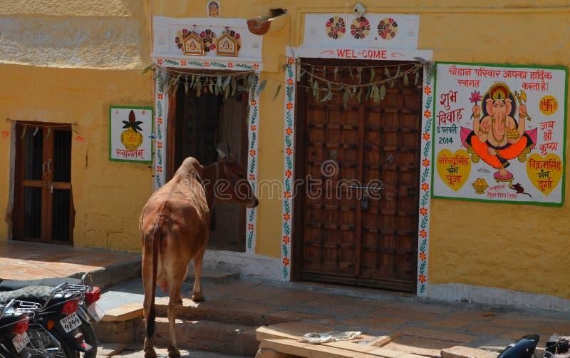 Główna krowy pozycja na głównym domu malujący dom, Jaisalmer, Rajasthan, India fotografia royalty free