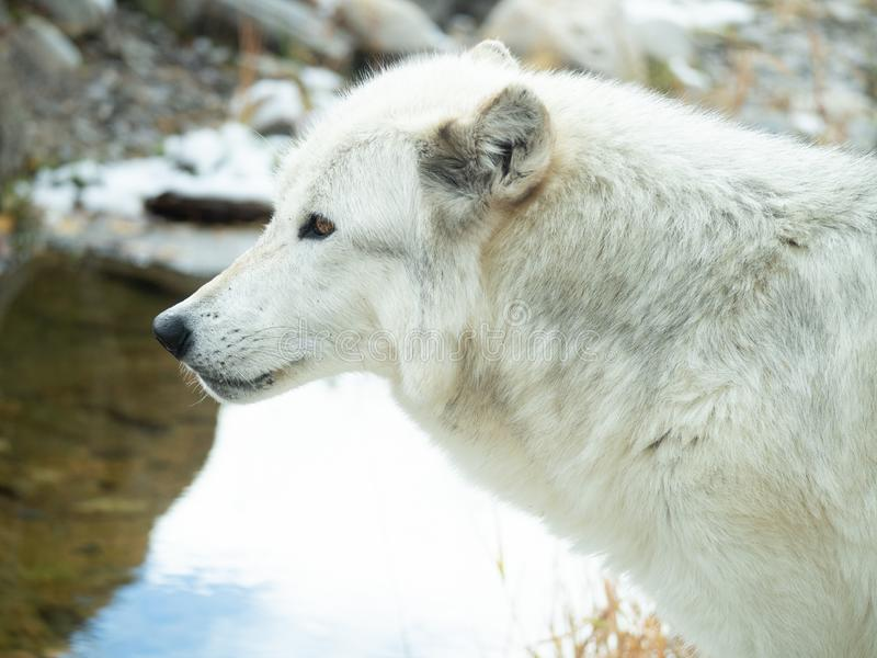 Głowa i szyja wilk w profilu obrazy stock
