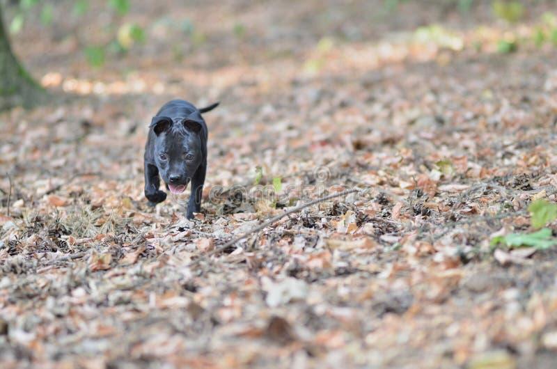 Gå den staffordshire bull terrier hunden arkivfoto