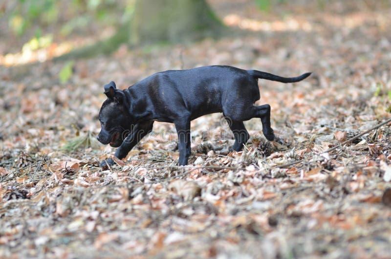 Gå den staffordshire bull terrier hunden arkivfoton