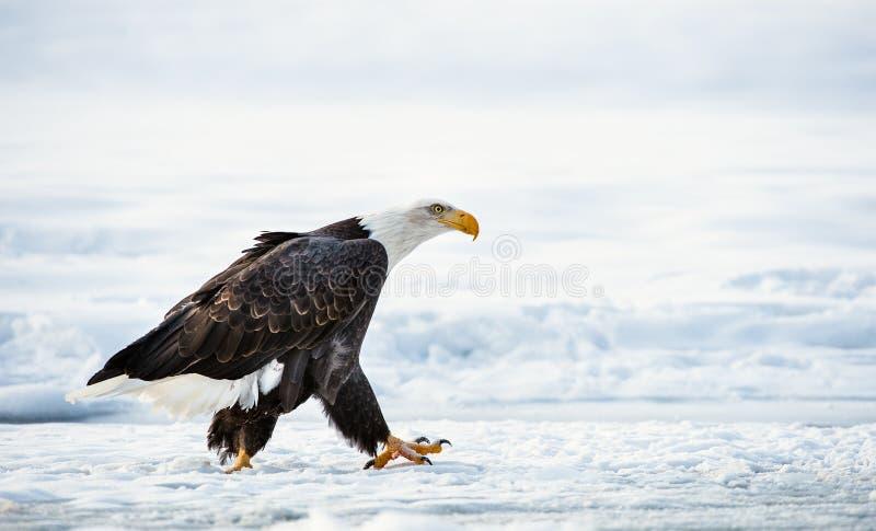 Gå den vuxna skalliga örnen arkivfoton