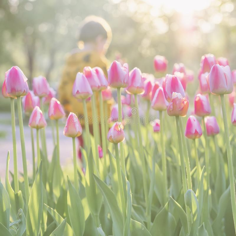 Gå det lilla barnet parkera in med blommande rosa tulpan på förgrund solig dag Suddig abstrakt bild för vår arkivfoton