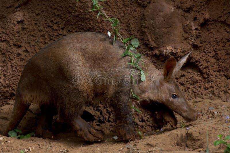 gå för aardvark arkivbild