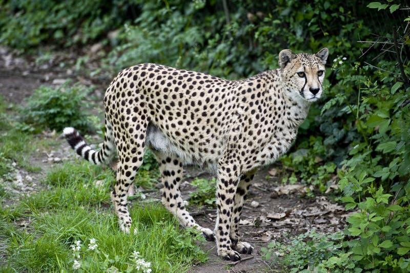 gå för cheetah royaltyfria bilder