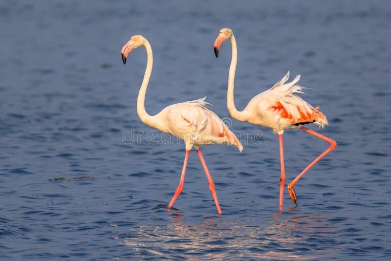 Gå för två flamingo royaltyfri bild