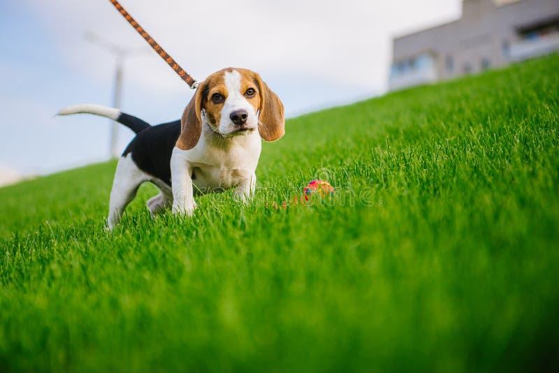 gå för valp för äng för beaglehundgreen Gå för beaglevalp royaltyfri bild