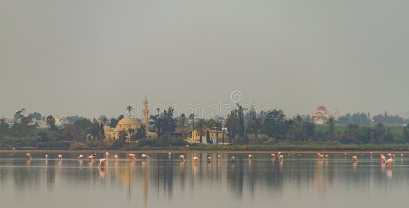 Gå flamingo och Hala Sultan Tekke på den Larnaca Salt-sjön, Cy arkivbild