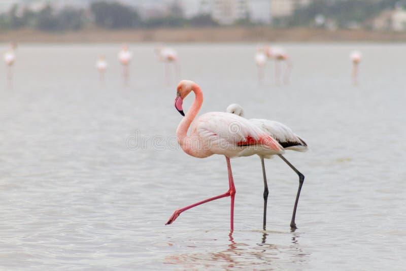 Gå flamingo och Hala Sultan Tekke på den Larnaca Salt-sjön, Cy royaltyfri foto