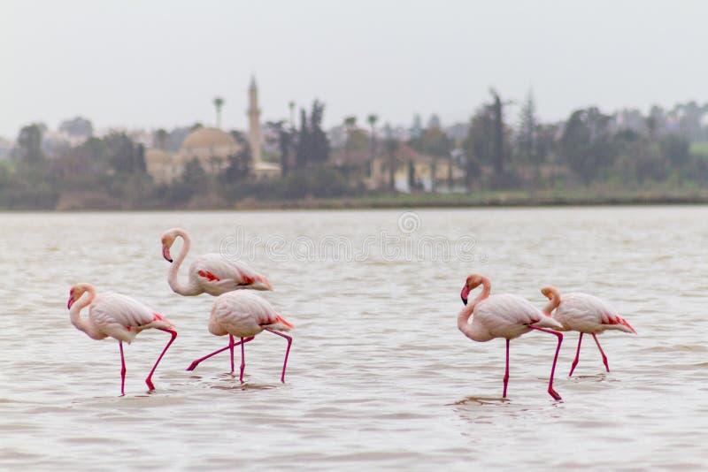 Gå flamingo och Hala Sultan Tekke på den Larnaca Salt-sjön, Cy royaltyfri bild