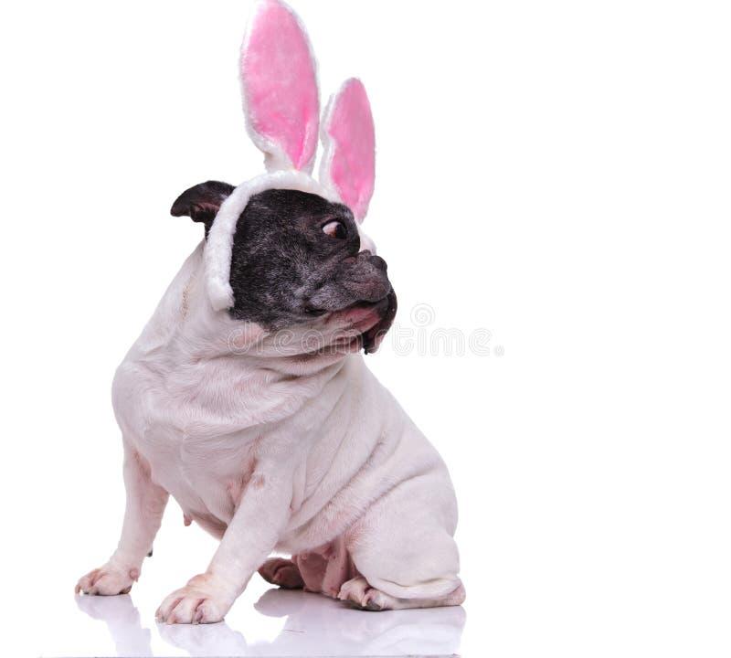 Gå i ax den bärande kaninen för den franska bulldoggen blickar tillbaka över dess skuldra royaltyfria bilder