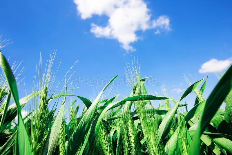 Gå i ax grönt vete för fotoet underifrån mot den blåa himlen med en ljus sommarsol Fotonärbild från botten arkivbild