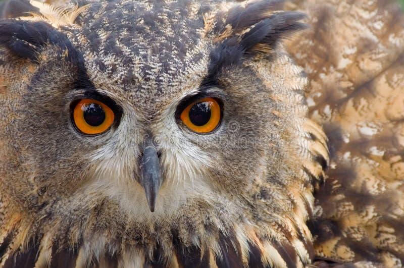 gå i ax lång owl royaltyfria bilder