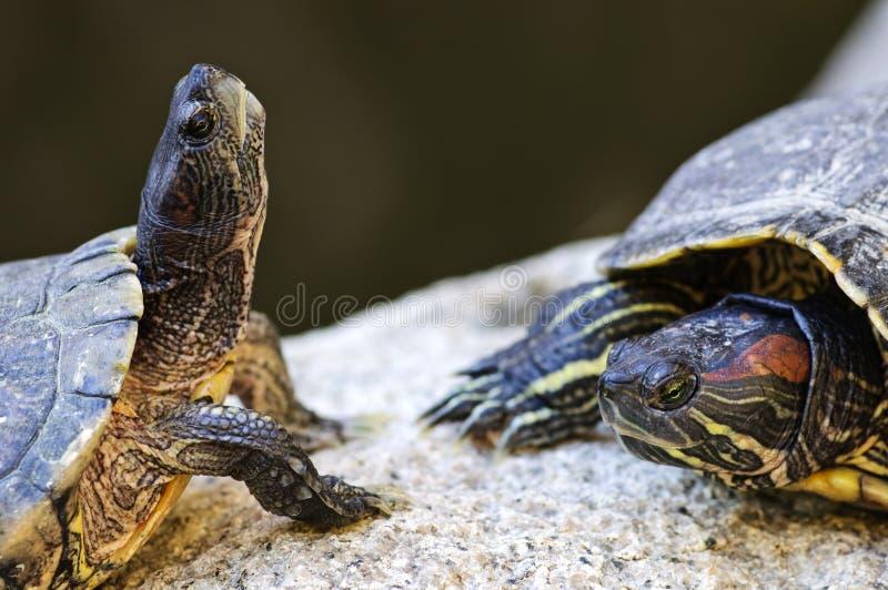 gå i ax röda glidaresköldpaddor royaltyfria bilder