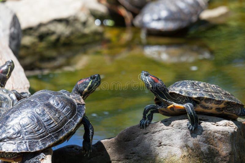 gå i ax röda glidaresköldpaddor arkivbilder